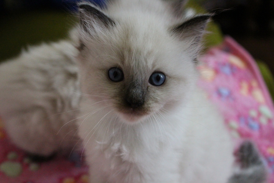 Adoption Process - Hugglebug Ragdolls